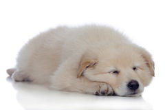 Nice dog with soft white hair sleeping Stock Images