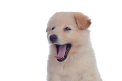 Nice dog with soft white hair yawning Royalty Free Stock Photography