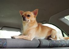 The nice doggie of a chihuahua. Guards inside of the car stock image
