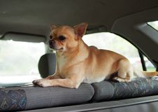 The nice doggie of a chihuahua. Guards inside of the car stock photography