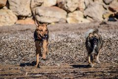 Nice dogs chasing each other on the beach stock photography