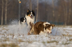 Nice dogs playing Royalty Free Stock Photography