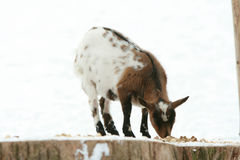 Nice domestic goat in winter Stock Photography