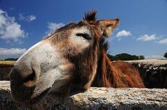 Nice Donkey. A nice donkey with a blue sky Royalty Free Stock Image