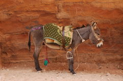Nice donkey. In Petra site in Jordania Stock Photos