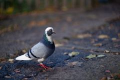 Nice dove in autumn orange forest stock photography