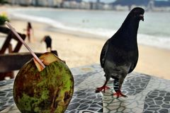 Dove. Nice dove sitting on the table close to coconut cup Stock Image