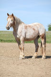 Nice draft horse standing in paddock Stock Image