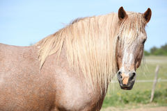 Nice draft horse standing in paddock Royalty Free Stock Photography