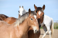 Nice draft horses looking at you Royalty Free Stock Photography