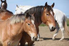 Nice draft horses looking at you Royalty Free Stock Photography