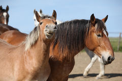 Nice draft horses looking at you Stock Photo