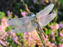 Beautiful dragonfly in morning dew, Lithuania Royalty Free Stock Image