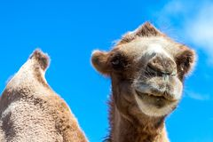 Dromedary looking to the photographer royalty free stock image