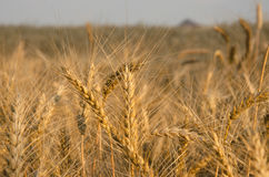 nice dry gold wheat stem close up. Royalty Free Stock Images