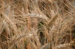 nice dry gold wheat stem close up. Stock Photos