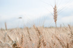 nice dry gold wheat stem close up. Stock Photography