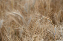 nice dry gold wheat stem close up. Stock Images