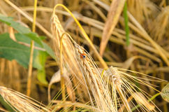 nice dry gold wheat stem close up. Royalty Free Stock Image