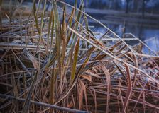 A nice dry pattern of reeds covered with frost. Plant and water in coldness season. Close-up brown dry reed covered with frost in ice of pond. Winter natural stock images