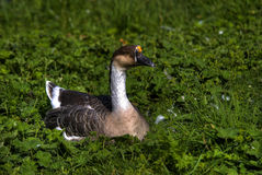 Nice Duck. On the grass Royalty Free Stock Image