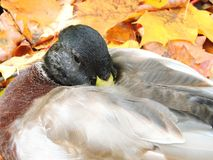 Beautiful wild duck rest on autumn leaves, Lithuania Stock Photography