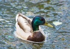 Nice Duck Royalty Free Stock Photo