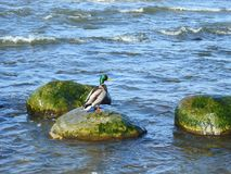 Beautiful duck resting on stone, Lithuania Stock Image