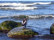 Beautiful duck resting on stone, Lithuania Royalty Free Stock Image