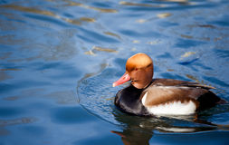 Nice duck with rusty head Red-crested Pochard, Netta rufina, flo Royalty Free Stock Photography