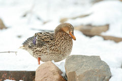 Nice duck in winter Stock Photography