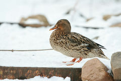 Nice duck in winter Royalty Free Stock Images