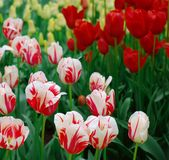 Nice dutch tulips. A lot of white and red dutch tulips in a garden Stock Photos