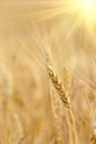 Nice ear on crop field Stock Photos