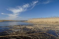 Nice early spring day on the lake. Yellow Reeds in the water under blue sky  Stock Image