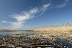 Nice early spring day on the lake. Yellow Reeds in the water under blue sky  Royalty Free Stock Photography