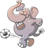 Nice elephant executing a stunt with a soccer ball. Nice chubby elephant bending its knees, raising its trunk and showing pride while kicking subtlety a soccer Royalty Free Stock Photo