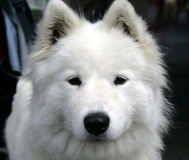 Nice Eskimo dog 1 Royalty Free Stock Image