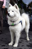 Nice Eskimo dog 2 Stock Images