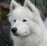 Nice Eskimo dog 3 Royalty Free Stock Photo