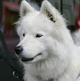 Nice Eskimo dog 4 Stock Photos