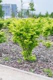 Euonymus alatus compacta in spring time. Royalty Free Stock Photos