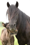 Nice fell pony mare with foal Royalty Free Stock Photography