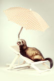 Nice ferret portrait on beach chair in studio. Ferret portrait on beach chair in studio Stock Photography