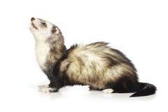 Nice ferret on white background Royalty Free Stock Image