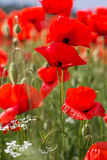 Nice field of red poppy flowers Royalty Free Stock Photos