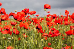 Nice field of red poppy flowers Royalty Free Stock Photography