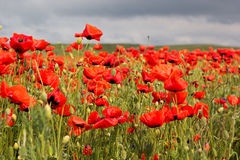 Nice field of red poppy flowers Royalty Free Stock Image