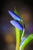 Nice first spring flowers Royalty Free Stock Image