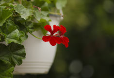 Nice floral decoration (Pelargonium). Beautiful flower and contrasted flower Stock Photos